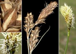 Carex caryophyllea Latourr. - Sistema informativo sulla flora ...