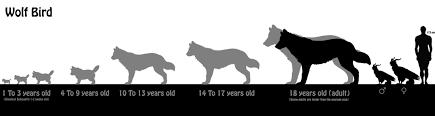Wolf Species Size Chart Wolf Bird Azurehowl Official Website