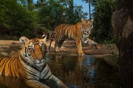 speaking for tigers a call to end asia s illegal trade proof photograph by steve winter