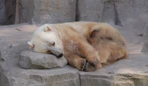 grolar bear size lonely little lars a polar bears homeland habitat and future