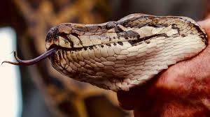 2017 Alligator Price Chart Florida Python Hunters Of Florida Swamps Get A Reality Tv Show Quartz
