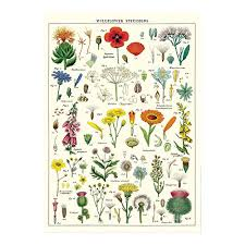 Flower Chart In English Cavallini Decorative Wrap Poster Wildflowers 20 X 28 Inch Italian Archival Paper Wrap Wf