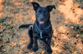 German Shepherd Lab Mix Weight Chart German Shepherd Lab Mix The Worlds Best Family Dog All