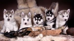 cute puppies for sale. Modren Sale Cute Puppies That Stay Small Forever For Sale Inside U