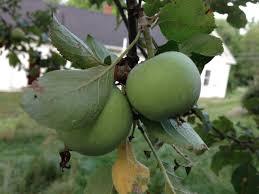 Identifying An Heirloom Crabapple Tree  MainetodayGreen Fruit Tree Identification