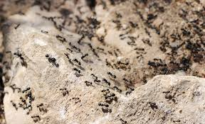 Small Small Black Ants In Kitchen Black Ants In Kitchen Problem
