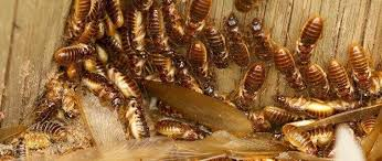 Image result for Drywood Termite Control Company