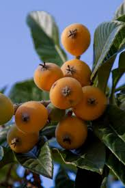 Potted Fruit Trees Plant Stock Photos U0026 Potted Fruit Trees Plant Small Orange Fruit On Tree