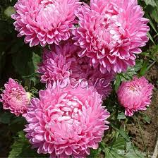 200 pink chinse aster flower seeds easy to grow cut flower variety diy home garden flower pink chinse aster flower seeds aster flower seeds double flower