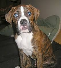 american bulldog pitbull boxer mix.  American Sam The Bulloxer Puppy Sitting On A Rug With Pillow Behind It This Is  Sam He An American Bulldog  Boxer Mix On Pitbull Mix E