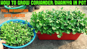 How To Grow Coriander Dhaniya Cilantro At Home Within 10 Days