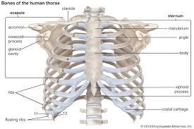 Rib cage anatomy in homo erectus. Rib Cage Anatomy Function Britannica