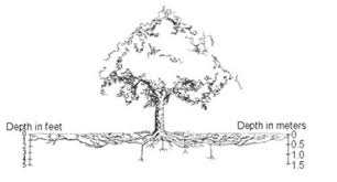 Tree Root Depth Chart Watering Established Trees And Shrubs Umn Extension