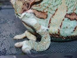 metabolic bone disease in reptiles에 대한 이미지 검색결과