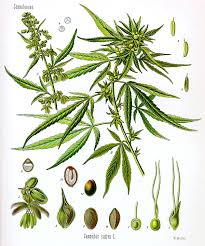Sativa And Indica Chart Cannabis Wikipedia