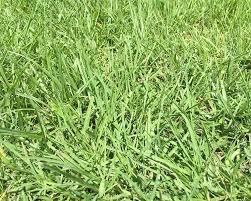 Grass Identification Chart Uk How To Identify Your Lawn Grass