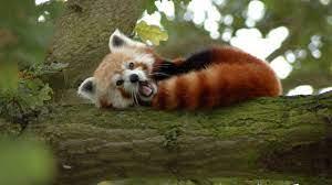 Cool Red Panda Wallpapers - Top Free ...