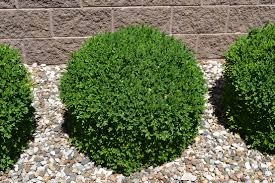 Small Picture Green Velvet Boxwood is a great low maintenance evergreen plant