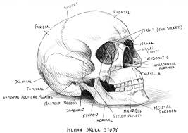 Find this pin and more on anatomy of muscles by rebecca dejardin. Skull Anatomy Coloring Pages Coloring Rocks