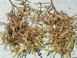sargassum spanish meaning