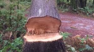 nearly 100 year old tree cut down illegally in snohomish county