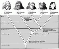Ape Evolution Chart Evolutionary History Kyles Bonobo Website