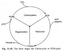 top 3 stages of calvin cycle (with diagram) 3 Cycle Wiring Diagram three stages of calvin cycle 3 Wiring Diagram with 1 Toggle Switch