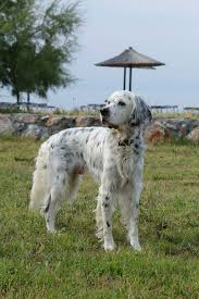 English Setter Weight Chart Best Dog Food For An English Setter Dog Food Guru
