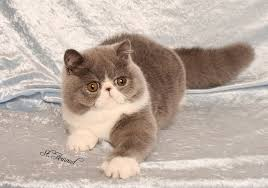 exotic shorthair munchkin. Unique Exotic Exotic Shorthair Cat Price Throughout Munchkin T
