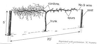 Pruning And Training Grapes University Of Maryland Extension