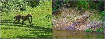 ocelot size ocelot vs jaguar nature my view