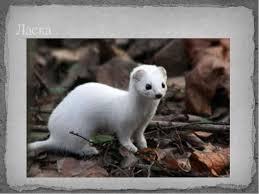 Ласка животное Образ жизни и среда обитания ласки Животный мир Ласка реферат 3 класс