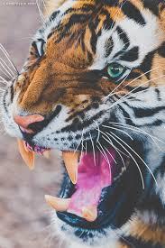 tiger roar tumblr. Modren Tumblr Roar Throughout Tiger Roar Tumblr A