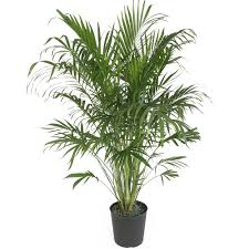 Delray Plants Cat Palm in 10
