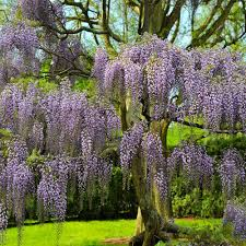 Below we are listing the codes. Purple Wisteria Trees For Sale Brighterblooms Com