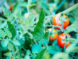 Gena care protejează tomatele de insecte