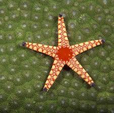 best starfish images starfish marine life and  oceanic life