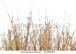 dry grass field background. Dry Grass Isolated On White Background Stock Photo (Royalty Free) 614898947 - Shutterstock Field W