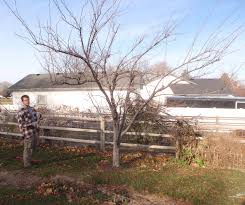 Pruning Somewhat Neglected Dormant Fruit Tree In Late FallDormant Fruit Trees