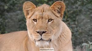 female lion wallpaper image