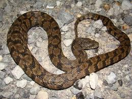 Black Snake With Diamond Pattern Simple Decorating