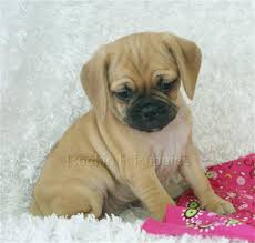 baby puggles. Perfect Baby Throughout Baby Puggles