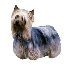 silky dog. australian silky terrier dog t