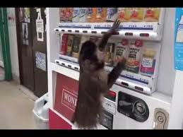 Monkey Vending Machine Mesmerizing Monkey Buys A Drink From Vending Machine WOTD YouTube