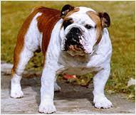 english bulldog full grown. Exellent Bulldog The English Bulldog Dog Breed For Full Grown R