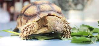 Indian Star Tortoise Diet Chart Tortoise Food And Diet Calcium Vitamin D3 And Not Eating