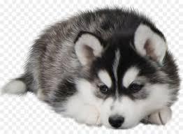 husky puppy wallpaper desktop. Simple Wallpaper Siberian Husky Puppy Desktop Wallpaper Dog Food  Husky For U