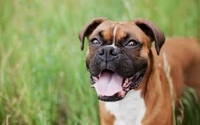 Resultado de imagem para cão de guarda
