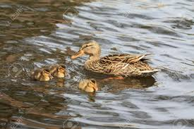 Image result for images mother and three ducklings