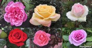 the a z list of rose names and